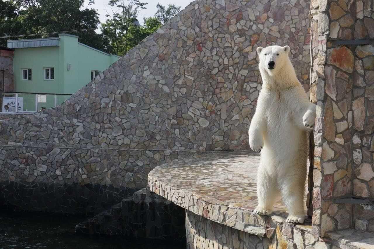 Кормление белой медведицы Хаарчааны разыгрывает Ленинградский зоопарк