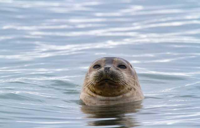 Балтийский фонд природы начал создавать безопасные для тюленей рыболовные сети